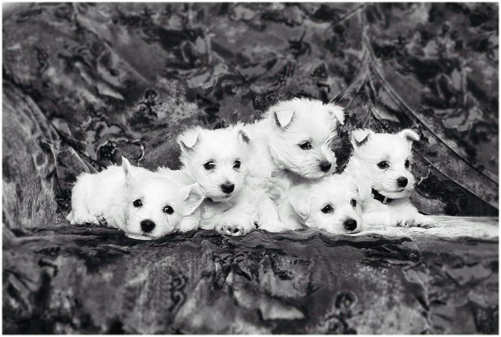 Westie-puppies (1995) (orig. analoog)