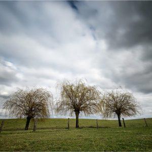 """""""Pruikenboompjes"""" in de uiterwaard van de Griethauser Altrhein, Düffelward (D)"""